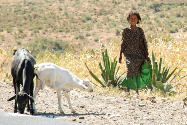 Can-Go Afar's Livestock Challenge aims to raise $50,000 to replenish much-needed livestock lost during drought in Afar region