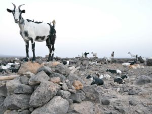 Join Can-Go Afar's Livestock Challenge!